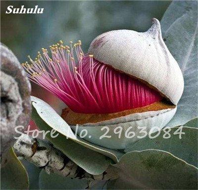 Vente! 100 pcs/sac rares Eucalyptus Graines géant Arbre tropical Graines Angiosperme pour jardin plantation en plein air Bonsai cadeau 19