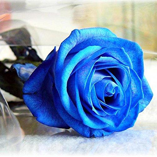 Inovey 50Pcs Bleu Rose Graines Bleu Amant Rose Graines DIY Home Garden Dec Bonsaï Usine