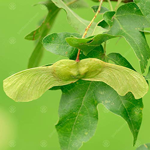 Acer campestre   Field Maple   Ornamental Garden Tree   5-6ft