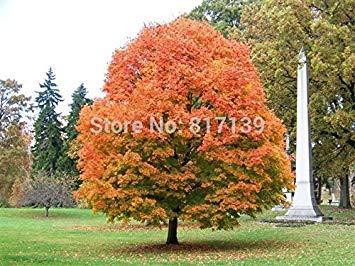 Nouveau jardin des plantes 10 Graines Northern érable à sucre Acer Saccharum Rocher érable Couleurs d'automne arbre Graines Livraison gratuite