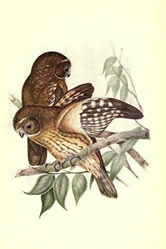 Posterazzi Useful Australian Birds 1921 Boobook Owl Poster Print by J & E Gould, (18 x 24)