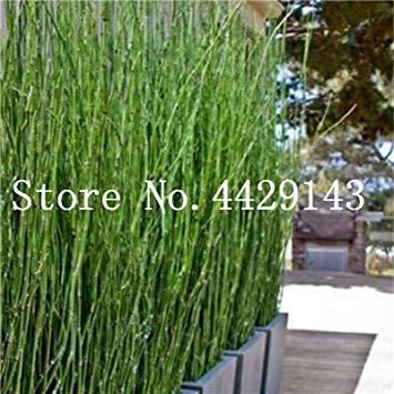 30 pc Nuovi Fresca Coperta di bambù Bonsai, Casa Good Luck Bamboo Pot, 100% Vera Pianta in Vaso per la casa Giardino Facile da Coltivare: 4
