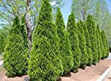 3 Pcs Plant Emerald Green Arborvitae in 2.5 inch pots Growing Zones: 3-8 Cannot Ship to Arizona - DBN0111