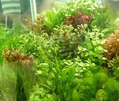 Mühlan – über 120 Aquarium-Pflanzen in 16 Bunde – großes farbiges Sortiment für 200 Liter Aquarium - 4