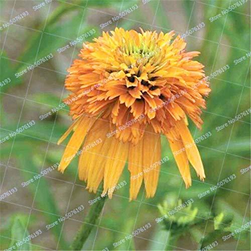 SANHOC 100 Seltene Japan Echinacea Purpurea Bonsai Pflanze schöne Daisy Blume Pflanzen zu Hause Gartenpflanzen leicht Bonsai Blume Pflanze wachsen: 1