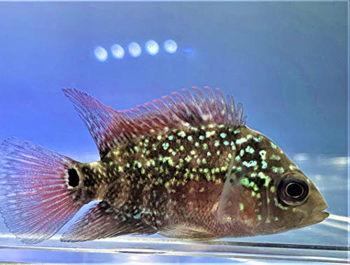 【熱帯魚】フラワーホーン 4cm (1匹)(東京倉庫出荷)