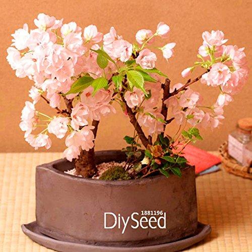 Nouvelles Graines 2015! 10 semences / pack japonais Sakura Potted 7 Différentes variétés de jardin en pot Rouge Rose Cherry Blossoms, # UT1KSW