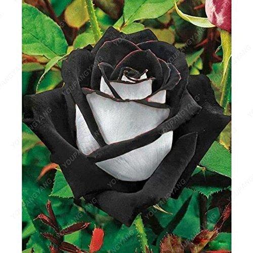 100pcs 20 sortes de graines Rose So Black Rose Charme Bonsai Graines de fleurs vivaces rares fleurs des plantes pour jardin