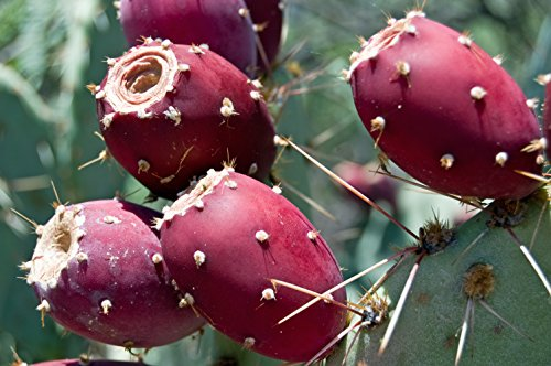 1 Plant of Perennial Prickly Pear Cactus (Rooted)