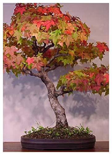 Tropica - Bonsai - Amberbaum (Liquidamber styraciflua) - 100 Samen