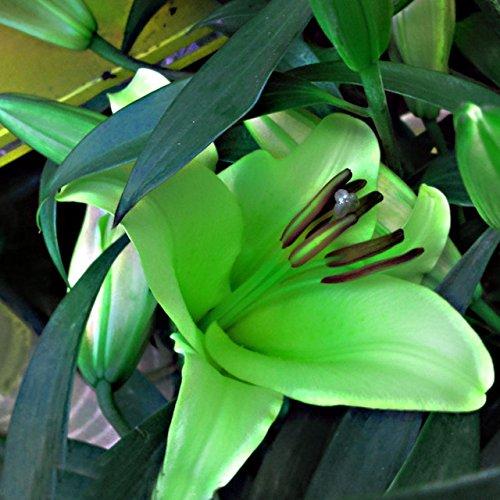 100 graines/paquet Promotions exotiques rares Blue Heart Lily Graines Bonsai Plante en pot Lily Graines de fleurs pour jardin 13