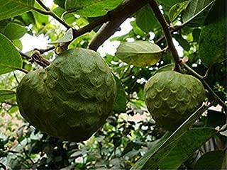 Nianyan 15 Seeds Annona Cherimola Fruit Shrub Cherimoya Custard Apple