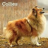 Collies 2020 - 16-Monatskalender mit freier DogDays-App: Original BrownTrout-Kalender [Mehrsprachig] [Kalender] (Wall-Kalender) - BrownTrout Publisher