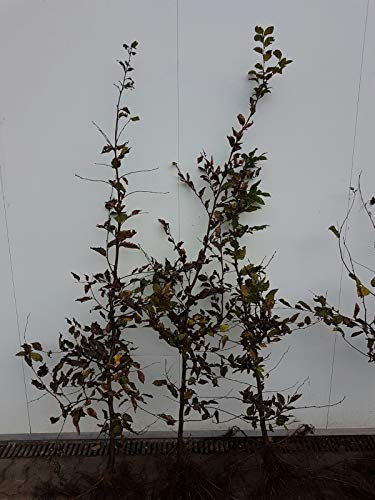Hainbuchen 80-120cm Heckenpflanzen Carpinus betulus Hecke 50st