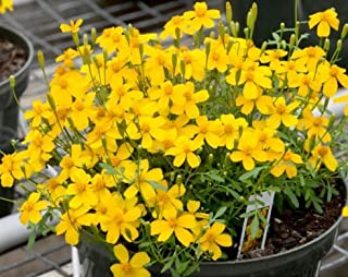 Fresh Mexican Mint Marigold 50 Seeds Tagetes Lucida Herbal Tea Soup