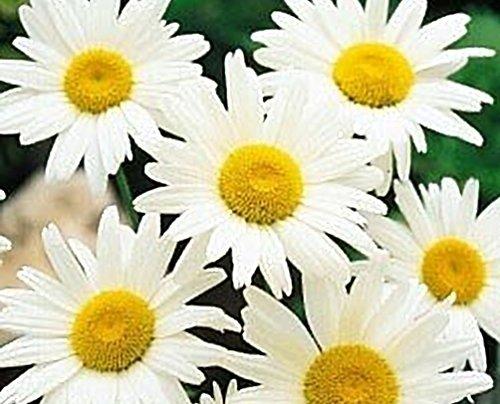 seed kingdom Shasta Daisy Alaska Nice Garden Flower Bulk 25,000 Seeds