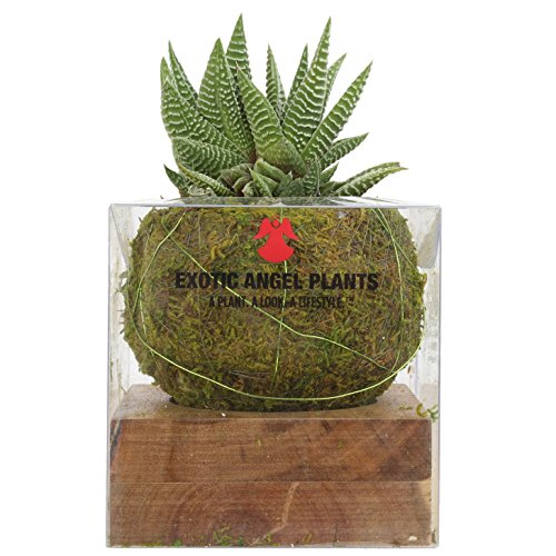 Costa Farms Kokedama Japanese Moss Ball Home Decor Planter with Live Haworthia Succulent Plant