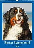 Berner Sennenhund - stark, schön und liebenswert (Wandkalender 2020 DIN A3 hoch)