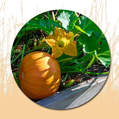 10 Pcs Pumpkin Seeds for Planting Outside Door -Cooking Dish Soup Taste Good Delicious
