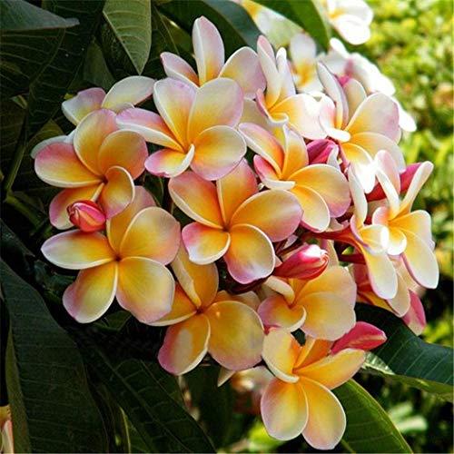 AIMADO Samenhaus-50 Stück Frangipani Blumensamen wunderschönen Blüten & unvergleichlichen Duft, pflegeleicht Blumen Samen wunderbar als Kübelpflanze,mehrjährige Pflanze