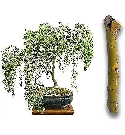 2 Bonsai CUTTINGS, Fresh Starters! Green Weeping Willows Live Indoor Cuttings - Thick Trunk Plant Start - Antique Piece for Your Home and Office - Quick Ship All Over USA - Twigz Nursery