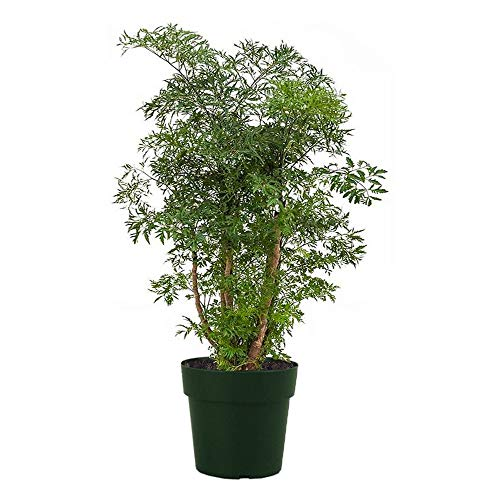 "American Plant Exchange Dwarf Ming Aralia Tree Indoor/Outdoor Air Purifier Live Plant, 6"" Pot, Green, Brown"