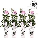 Vides de Botanicly – 4 × Rosal trepador – Altura: 70 cm – Rosa lucieae Crazy In Love Pink