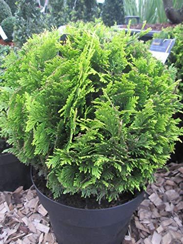 Chamaecyparis lawsoniana Stardust - Gelbe Gartenzypresse Stardust