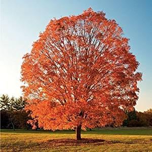 75 sucre d'érable, arbre Graines Acer Saccharum, Ailes