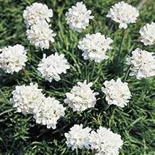Outsidepride Armeria Alba Ground Cover Seed - 400 Seeds