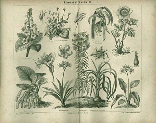 Alpenveilchen, Hakenlilie u.a. Zimmerpflanzen. Antiker Stich von 1874.