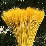 WellieSTR 200PCS Dried Wheat Sheave Bundle, Wheat Bundle Dry Grass Bouquet Premium Fall Arrangements DIY Home Kitchen Table Wedding Flower Bouquet Centerpieces Decorative(23Inch,Gold Color)