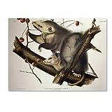 Virginian Opossum Artwork by John James Audubon, 14 by 19-Inch Canvas Wall Art
