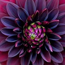 Black Dahlia Flower Seeds