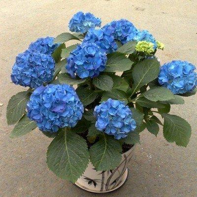 Jardin des graines bonsaï de fleurs. 10 PCS Sky graines de hortensia bleu. Beauté et parfum des plantes d'intérieur