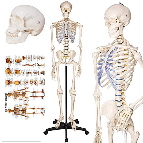"TakeTex 70.8"" Life-Size Human Skeleton Model, Including Anatomical Skeleton Model + Colorful Chart + Cover"