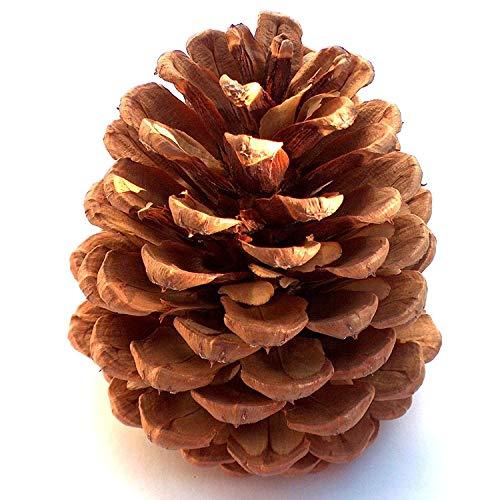 "12 Ponderosa Decorative 3"" - 5"" Pine Cones UNSCENTED Fall Winter Holiday Home Decor Vase Bowl Filler Displays Crafts"