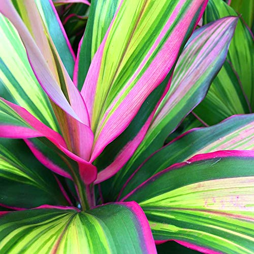 1 x Cordyline Kiwi for Sale   30-40cm Potted Indoor Plant for Home or Office