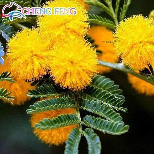 Pinkdose 20pcs plantes Mimosa d'or Rare Belle Acacia jaune mimosa Arbre Plantes jardin Plantes fleuries Noble bonsaïs cadeau Bonsai: Jaune