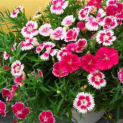 Mixed Colors Non-GMO Flower Bombing new work Seeds 200 Se Dianthus barbatus free shipping