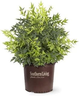 Southern Living Lemon Lime Nandina Shrub Plants