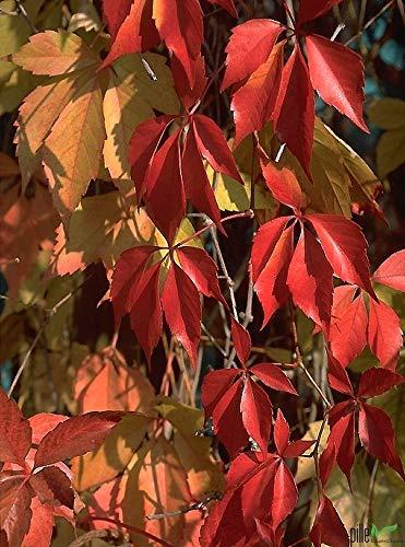Wilder Wein Mauerwein Parthenocissus quinquefolia Kletterpflanze winterhart - 3 Sorten im Topf zur Auswahl (Parthenocissus quinquefolia)