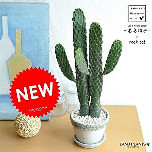 LAND PLANTS 観葉植物 サボテン(墨烏帽子:スミエボシ) 【大型】2本立ちロング