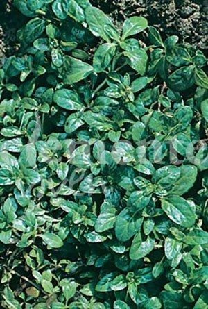 Comprar plantas semillas clemente
