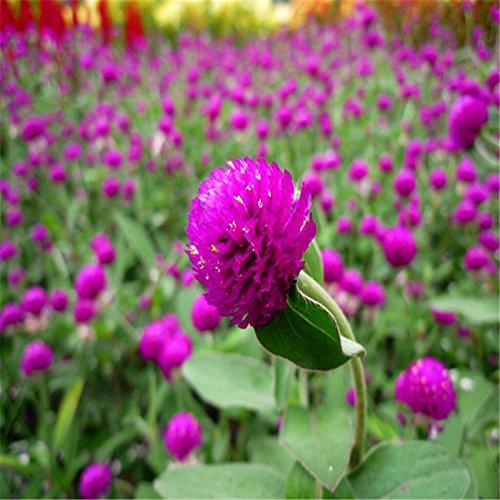 Vivaces Grande fleur Mille Jours rouges Graines Convient aux Balcon Plantation Belle extérieur non-OGM
