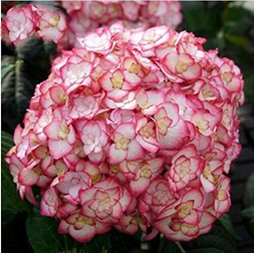 10 pcs / sac de graines de hortensia, bonsaïs graines de fleurs rares Chine Escalade hortensia fleurs vivaces de jardin graines pot extérieur 12