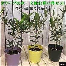 オリーブの木 苗木 3.5号ポット(苗) 3種類 3ポット セット販売 ピンチ物(枝ぶりを良くする処理) 品種違いでのお届け 自分流のガーデニングに仕上げて下さい 植え替え・寄せかご・寄せ植えなどに 大きく育てて下さいネ