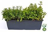 Kräuterkasten für 'Suppen & Eintöpfe' 40cm Anthrazitkasten mit je 1er Kräuter Pflanze: Liebstöckel, Bohnenkraut & Majoran