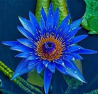 スイレンの種,多年生の水生ハーブ,家の中庭の装飾,水に咲く花-60 個