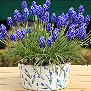 Virtue 100unidades/bolso de UVA bombilla Bulbo tira para el Invierno plantas de compañía Flor bonsáis bombilla en maceta de flores Entrega gratuita